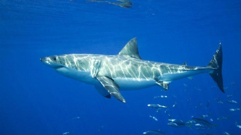 great-white-shark-swimming-blue.adapt.945.1